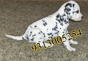 Dalmatian puppies for sale.