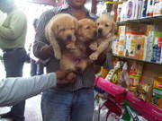 GOSWAMI KENNELS -Kennel Club Registered dogs/puppies 4 sale in manipur